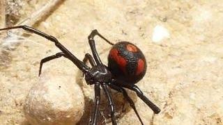Ядовитые пауки добрались до российского Поволжья