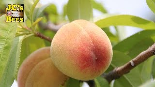 Peach Tree from Lowe
