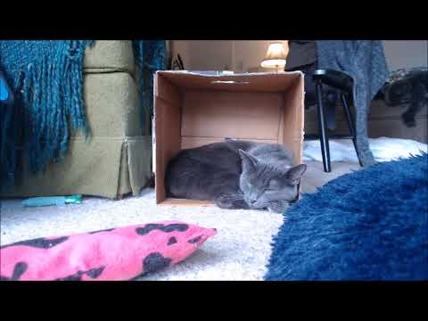 Manx Cat Sleeping in a Box - 30 Minutes