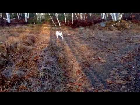 Brittany Spaniel just turned 1. Hunting partridge in Northern Ontario, Canada.