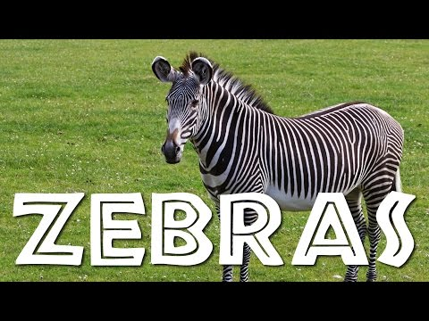 Zebras For Kids: Learn All About Zebras Freeschool