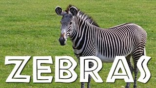 Zebras for Kids: Learn all About Zebras - FreeSchool(Zebras are some of the coolest-looking animals on earth! With their signature black and white stripes, everyone can recognize a zebra. Zebras may look cute ..., 2015-06-08T16:23:30.000Z)