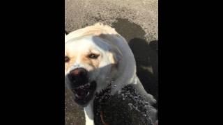 水犬,Water Dog,ラブラドール,かわいい犬の動画,癒し動画,涼しい,水遊び...