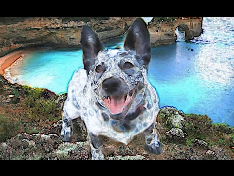 Blue Heeler Brief History of Australian Cattle Dog Lovers Dogs Red Heeler Origins Background facts
