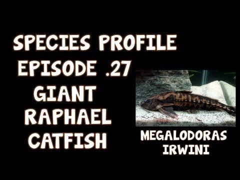 SPECIES PROFILE│GIANT RAPHAEL CATFISH│