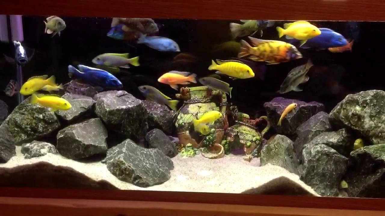 Mixed cichlids in a 75 gallon tank aquarium - YouTube 10 Gallon Fish Tank Ideas