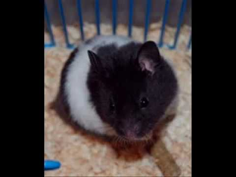 Caracteristicas del hamster panda youtube - Hamster russe panda ...