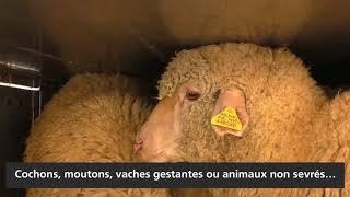 Transports d'animaux vivants : problèmes et conséquences