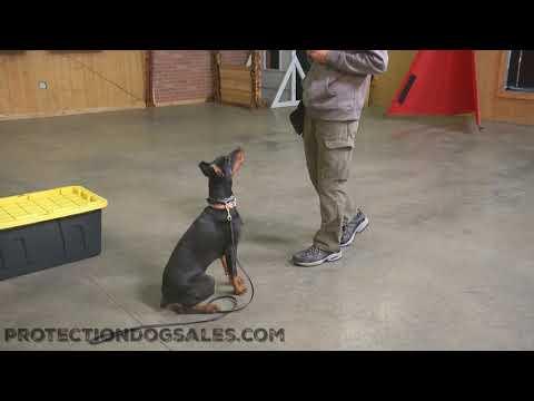"6 Month Old Doberman Female ""Wonder"" Obedience/Protection Training Dog For Sale"