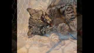 Дикая Кошка Жоффруа #4