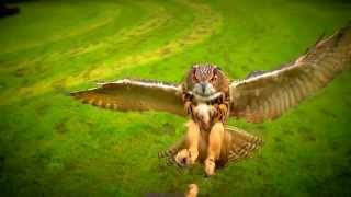 Полет совы, живые обои.  Красивое видео