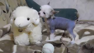 Забронирован щенок № 2 китайской хохлатой собаки - мальчик голый чёрно-белый.