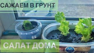 Я - Садовод! Салат на подоконнике. Вторая жизнь купленному салату