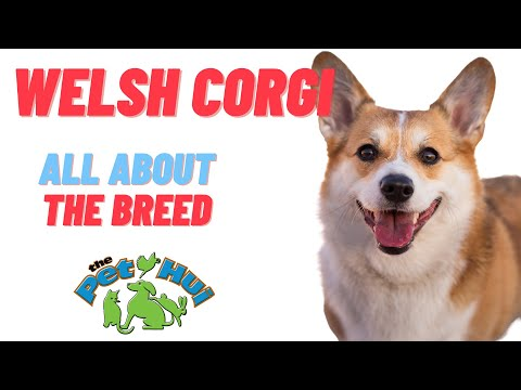 All About the Breed: Welsh Corgi