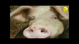 Pourquoi Dieu a Interdit la viande de Porc ! ( Un grand pretre le dit )