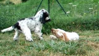 Chiots Cocker Anglais En Train De Jouer English Cocker Spaniel Puppies