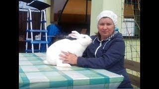 Термонский Белый кролик (Blanc de Termonde) - порода крупных белых кроликов