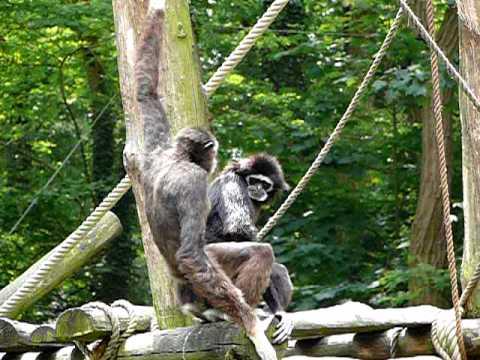 Apen voortplanting