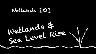Wetlands 101: Wetlands &  Sea Level Rise