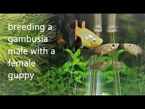Trying To Breed Mosquitofish With A Guppy