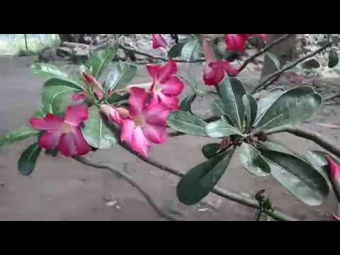 Demy lilin ( Kresno)