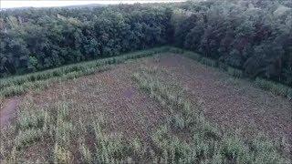 Dziki niszczą wielkie obszary kukurydzy przeznaczonej na kiszonkę  ! Znikają Hektary Roślin