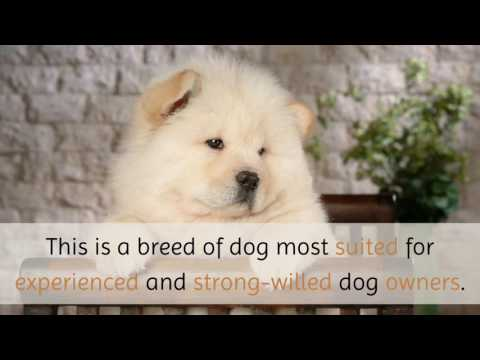 11 Unique Facts You Should Know About Chow Chow