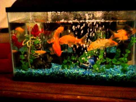 My 10 gallon tank with goldfish   YouTube
