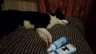 Амуниция моей собаки / Якутская лайка Билен