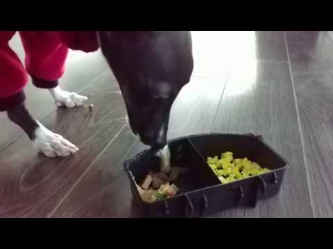 Italian Greyhound's Special Breakfast & Food Dish Frustration!