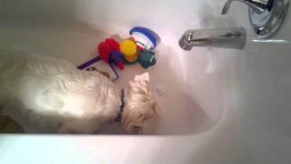 Westie Drinking In The Bathtub