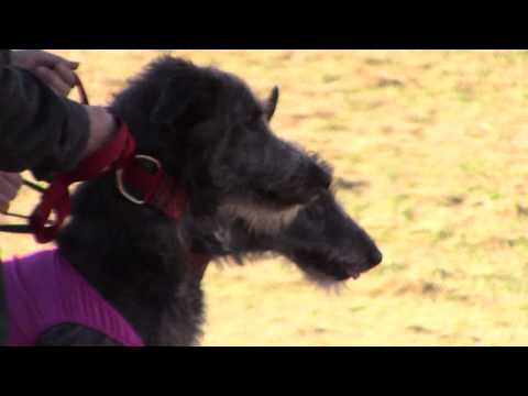 2019 AKC NLCC - Scottish Deerhound Best of Breed in Event