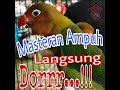 Masteran Love Bird Ngekek Panjang  Mp3 - Mp4 Download