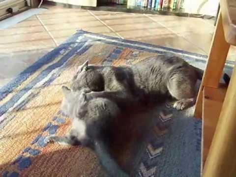 jeux de chatons chartreux 2 mois youtube. Black Bedroom Furniture Sets. Home Design Ideas
