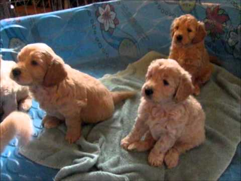 English Cream Mini Goldendoodle Puppies