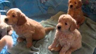 English Cream Mini Goldendoodle Puppies