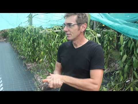 Learn about vanilla in Reunion Island