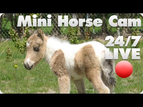 Mini Horse Live Cam