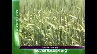tahıl Hastalıkları    www enverakkurt com