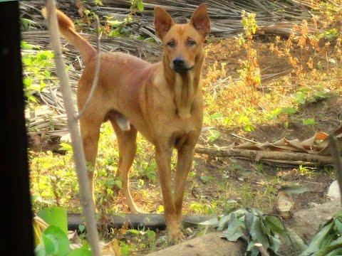 INDIAN  PARIAH  DOG  AGRESSION