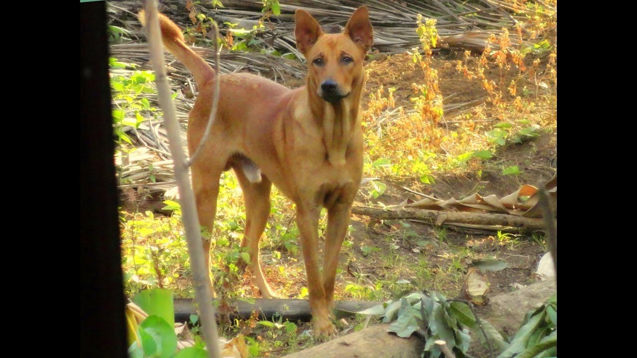 INDIAN PARIAH DOG AGRESSION - YouTube