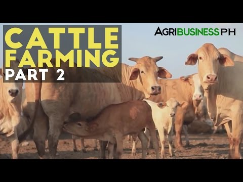 Cattle Farming Part 2 : Zero Grazing Cattle Farming | Agribusiness Philippines
