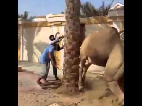 Camello peligroso