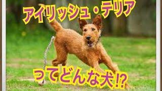 ペットで犬を飼おうと迷っている方へ〜アイリッシュ・テリア〜 世の中に...