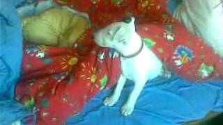 Bull Terrier Puppy (oz) With Blue Eye