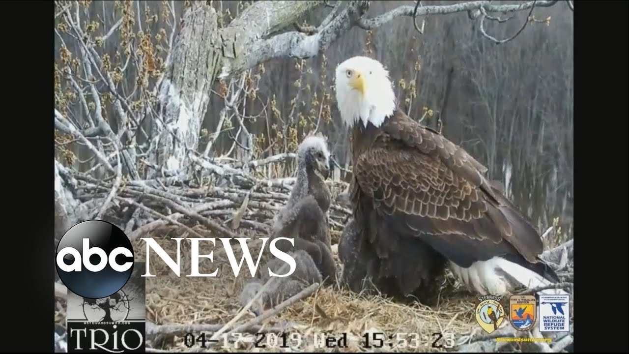 3 adult bald eagles watch over 3 eaglets in nest along Mississippi River