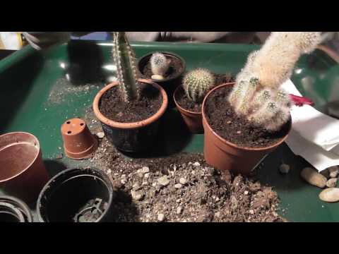Kakteen Umtopfen Und Vermehren