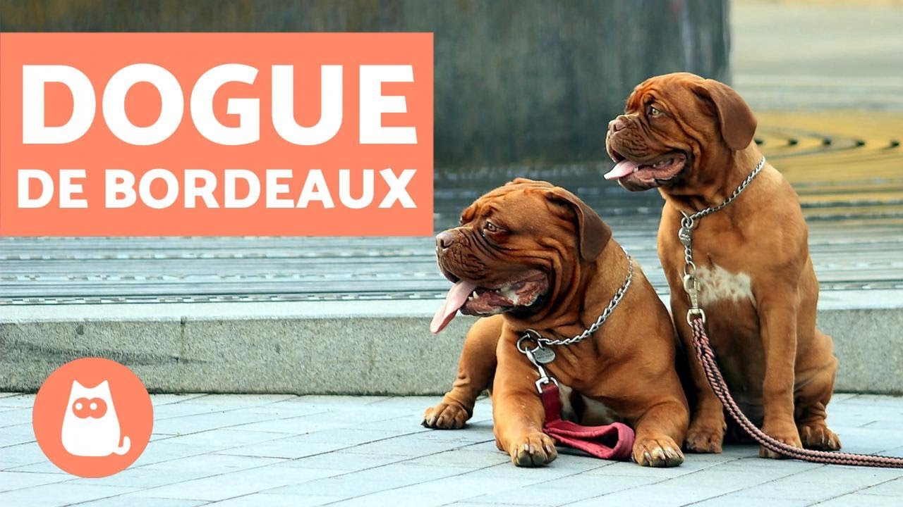 Dogue De Bordeaux Characteristics And Training Youtube