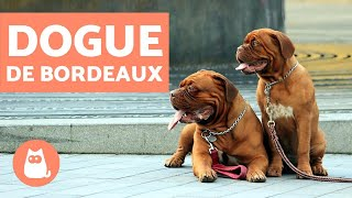 Dogue de Bordeaux  Characteristics and Training