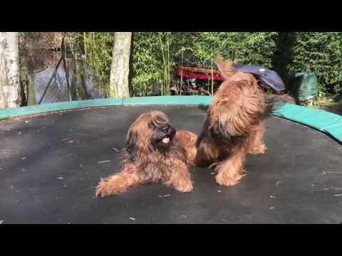 Briard Hunde